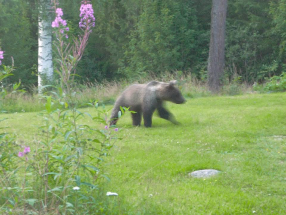 L'ours de Dalécarlie
